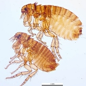 CDC: Fleas can cause plague