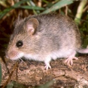 Mice can spread disease like hantavirus